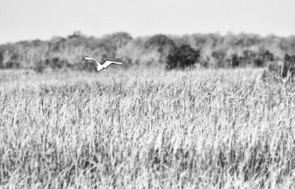 shot at Savannah wildlife refuge. awesome spot for birding and alligatoring