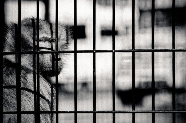 locked up baboon in a georgian safari zoo