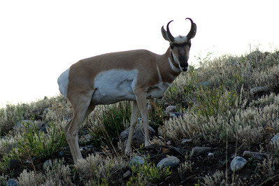 North American Antelope in Lamar Valley-fasted mama in NA