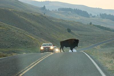 Quick bison Jam in Lamar Valley