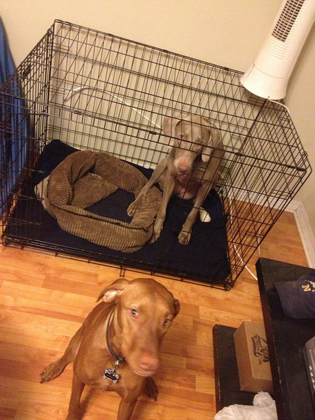 We told Vino to go to her crate because we were taking Yadi to the vet, and Yadi's ran into Vino's crate.  So ridiculous!  {January 03, 2013}