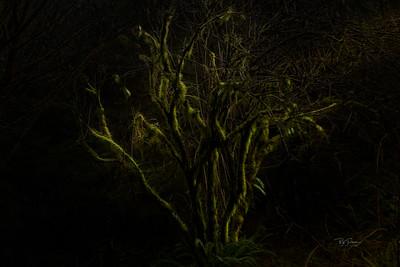 Silky Tree