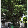A very old cyprus tree that is on the tourist map.