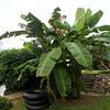 Banana palm.