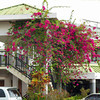 Flame tree beside the YCA Building and Shopping Center