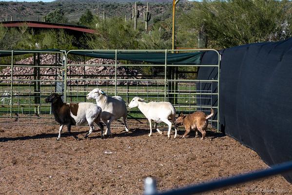 ACDR Herding 2015