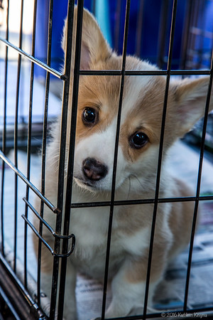 Corgi puppies Jan 2016