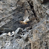 Yaquina Head Peregrine Falcon