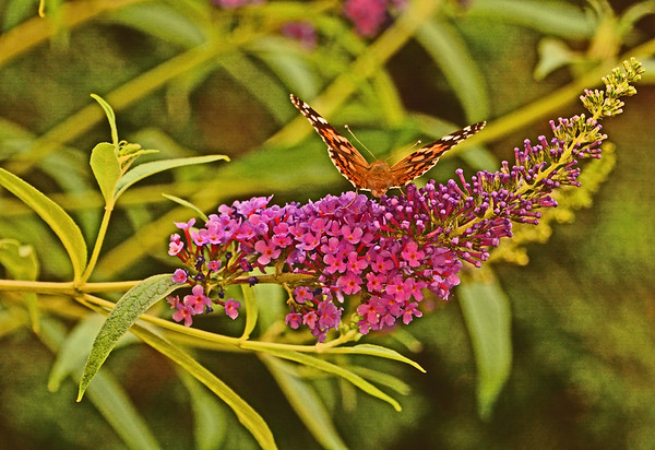 Yard Butterflies on the Butterfly Bush: 8-9-17