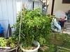 another volunteer Roma paste tomatoe