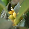 riper loquats peeking through the foliage