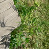 shadow of a scissors weed