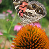 453827908_img_1722ButterflyConeflower