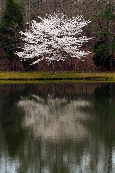 march cherry tree 11