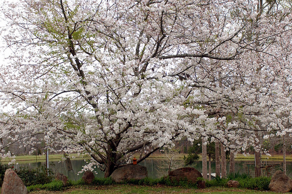 march chery tree 1