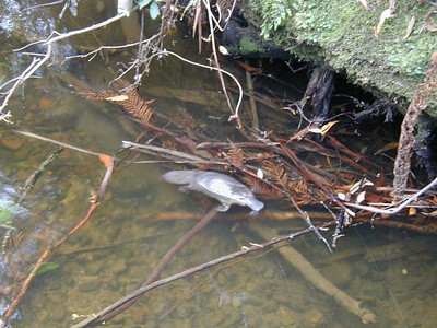 Steve and Joe photographed this platypus in the creek near Hastings Cave, while Kathy and Dorothy were searching for it upstream.