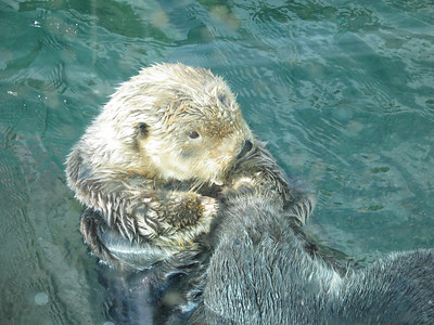 Vancouver Aquarium - adult sea otters
