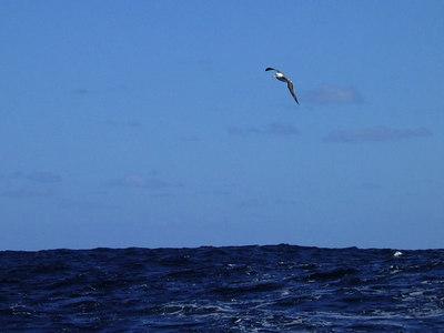 Albatross in the Southern Ocean between New Zealand and Tahiti