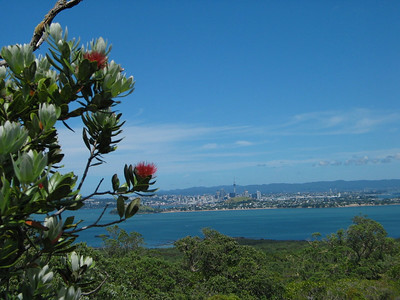 Pohutukawa in bloom on Rangitoto Island with Auckland in the distance