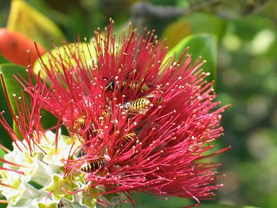 Bees pollinating a pohutukawa flower on Rangitoto Island