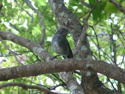 New Zealand Robin on Tiritiri Matangi Island, New Zealand