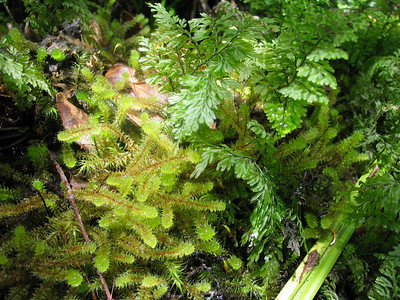 Mosses and ferns in forest - Rangitoto Island