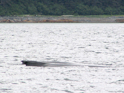 This looks like a mother and juvenile minke or humpback whale in Chatham Strait