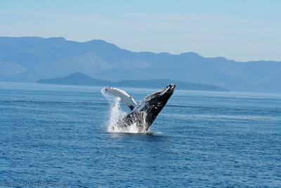 Breaching Humpback whales, Frederick Sound