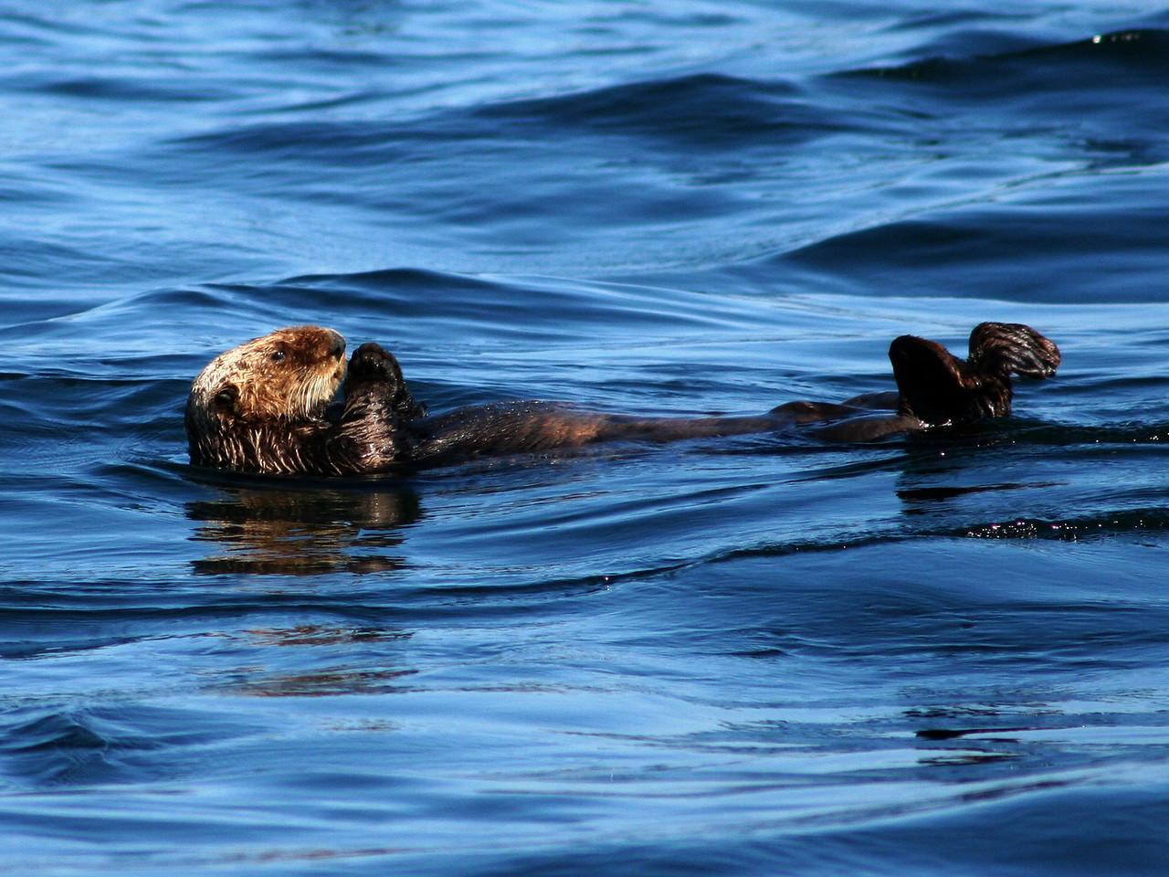 Sea Otter feeding - Chatham Strait off the west coast of Kuiu Island.