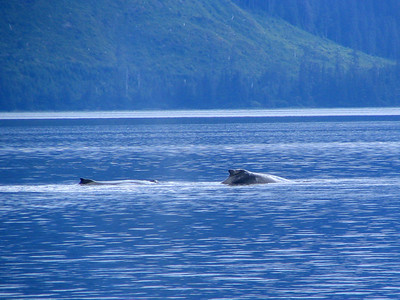 Adult and young humpback whales in Peril Strait