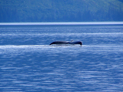 Humpback whale sounding in Peril Strait