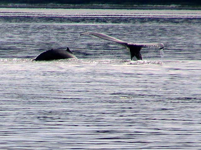 Adult and young Humpback Whales sounding in Peril Strait