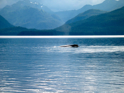 Humpback whale in Peril Strait