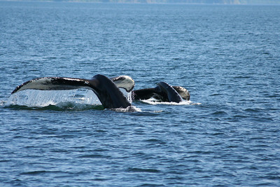 Mother and young Humpback whales sounding in Peril Strait