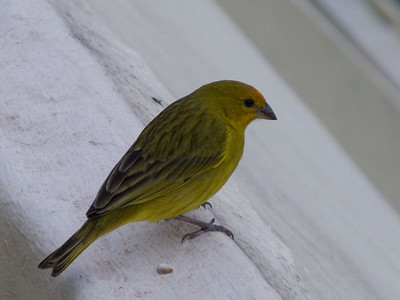 Saffron yellow-finch