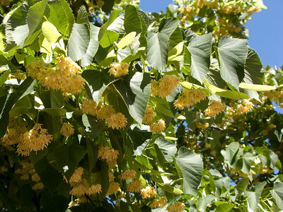 Yellow blossoms on an enormous blooming tree