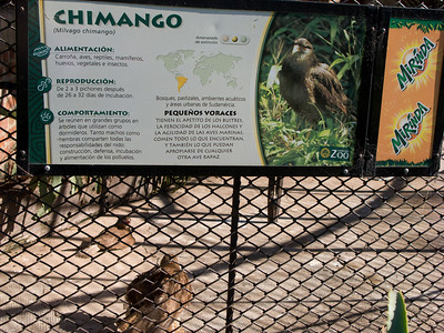 Chimango, a South American raptor