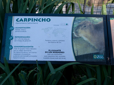 Capybara (locally known as Carpincho) is the largest rodent in the world, up to 140 pounds.