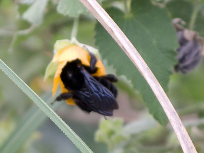 A very large bumblebee was enjoying the mallow blossoms.