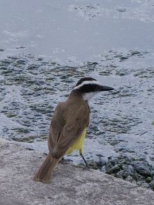 This Great Kiskadee is quite common around the lagoons of the Ecological Reserve.