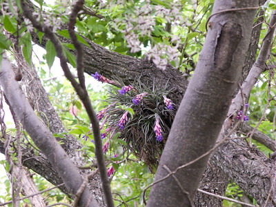 Epiphyte in a tree