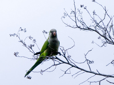 This is possibly a Blue-Crowned Parakeet