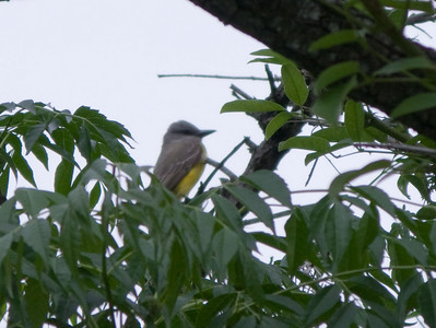 This might be a Tropical Kingbird.