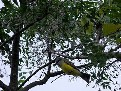 Possibly a Tropical Kingbird.
