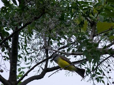 Possibly a Tropical Kingbird.