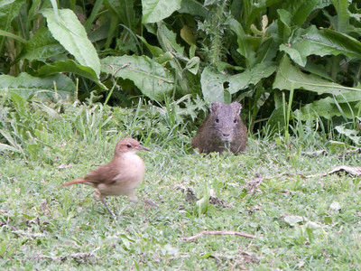 This friendly brown bird and a Tuco-Tuco shared a grassy lunch.