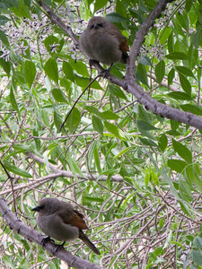 When on the ground, these birds had the appearance of mockingbirds, but were a different species.