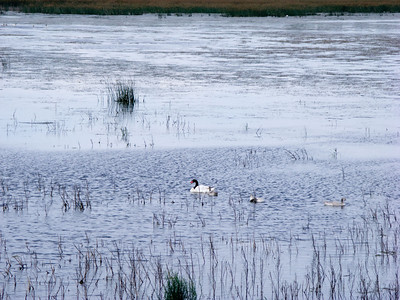 White swans with black necks and red beaks in the lagoon