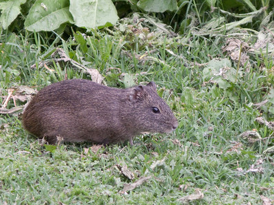 This Tuco-Tuco is about the size of a guinea pig.  We saw several of them at the edge of the forest.  Very shy, there are several different species.