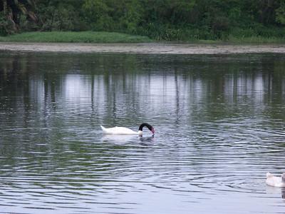 Black-necked white swan in the lagoon.